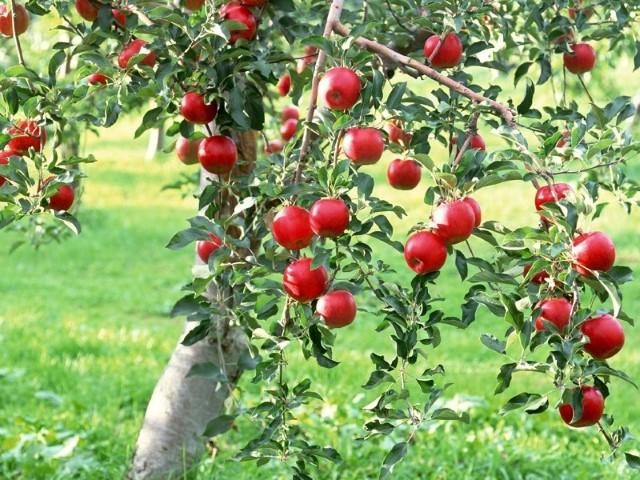 calendar ingrijire pomi fructiferi