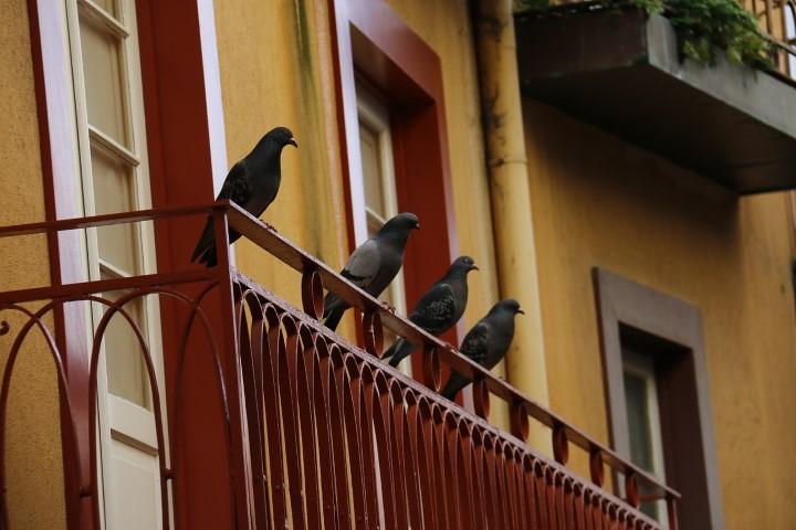 porumbei pe balcon