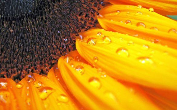 floarea soarelui wallpaper