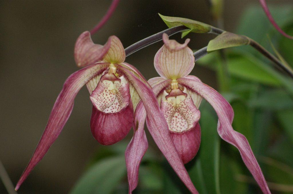 cattleya orhidee