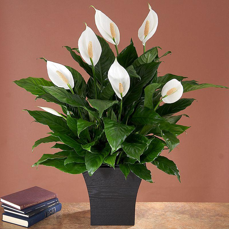 Spathiphyllum sp - Crinul păcii