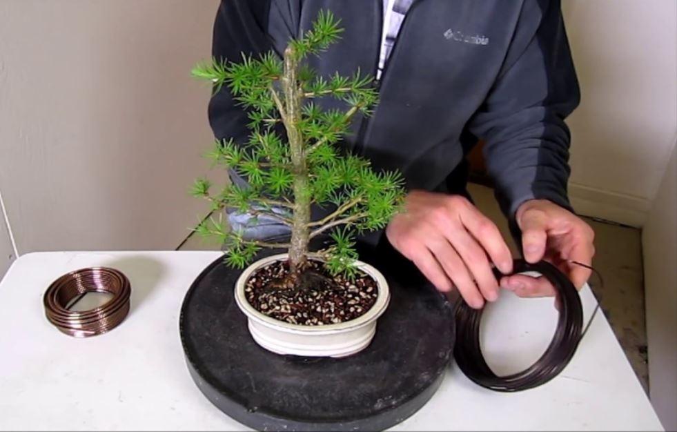 ingrijire bonsai