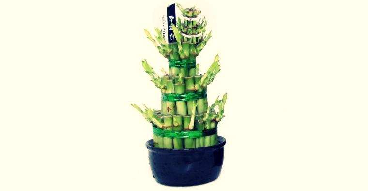 Bambusul norocos - o altă plantă de ghiveci