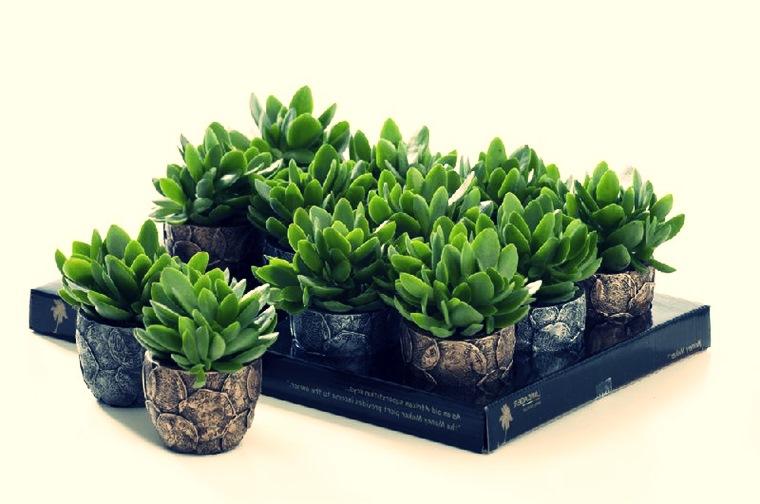 Crassula sau arborele de jad - plantă norocoasă