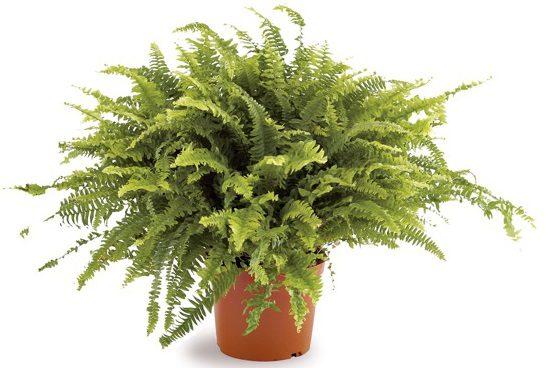 Feriga - planta care aduce noroc