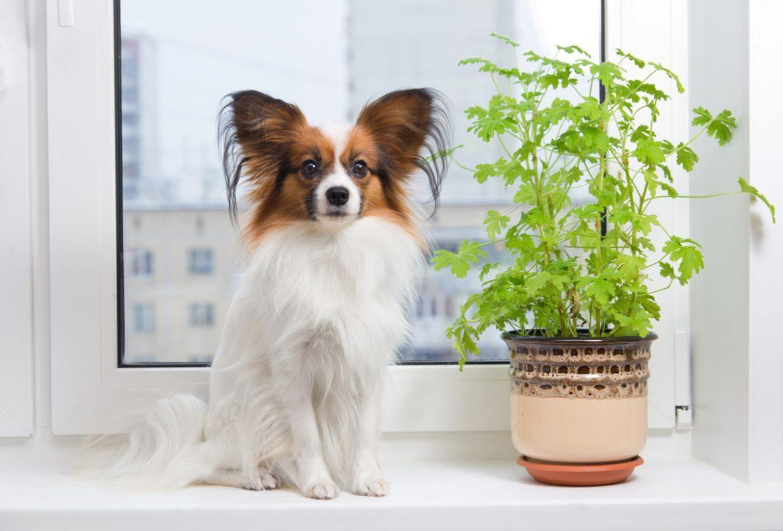 plante toxice pentru animale