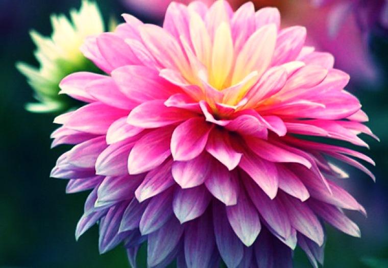 Crizantemele sunt toxice pentru animale