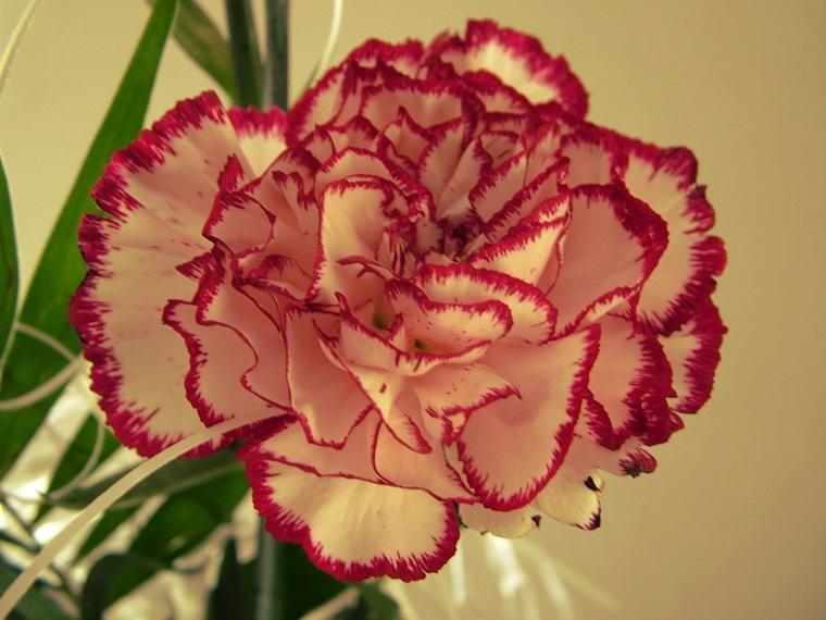 Garoafa - planta toxică pentru animale