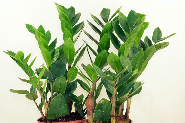 Planta ZZ (Zamioculas Zamiifolia)