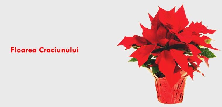Poinsettia Floarea Crăciunului