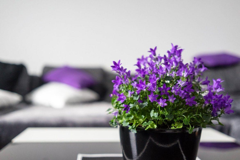 flori violet