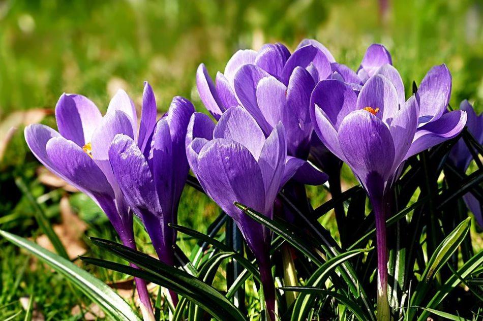 brândușe de primăvară