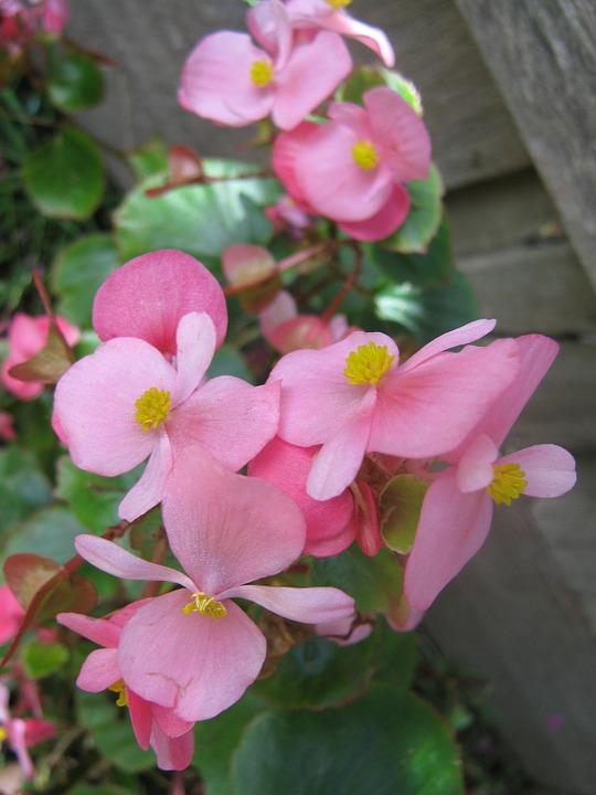Begonia Clarkei