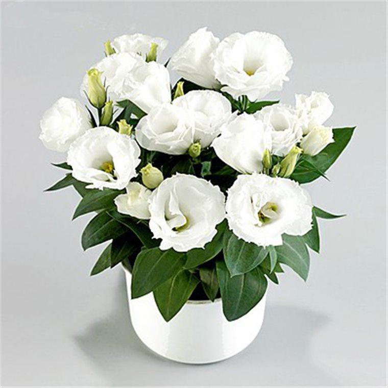 Florile de ghiveci