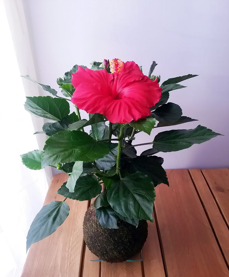 Hibiscus rosa sinensis