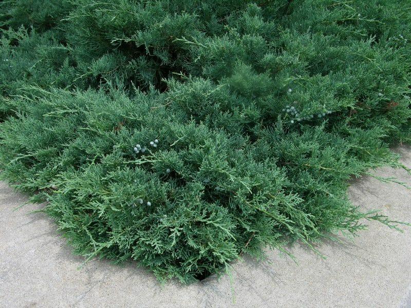 Juniperus spp.